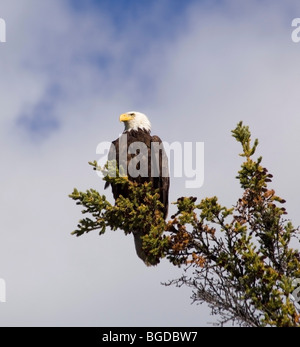 Adult Bald Eagle (Haliaeetus leucocephalus) perched on a spruce tree, looking for dead salmon, Takhini River, Yukon - Stock Photo