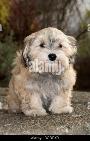 Havanese puppy, male, 16 weeks - Stock Photo
