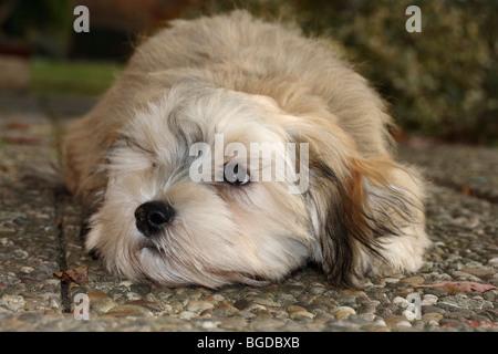 Havanese puppy, male, 16 weeks, lying on concrete slabs - Stock Photo