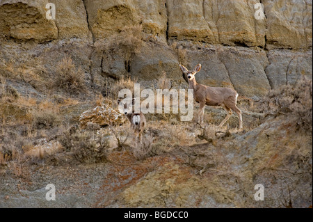 Mule deer (Odocoileus hemionus) foraging in badlands landscape Theodore Roosevelt National Park north unit, North - Stock Photo