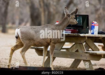 Mule deer (Odocoileus hemionus) attracted to food in a campsite, Dinosaur Provincial Park,  Alberta, Canada - Stock Photo
