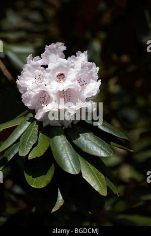 Rhododendron falconeri ssp eximium - Stock Photo