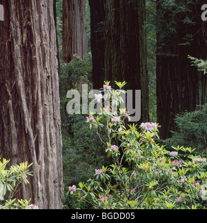 CALIFORNIA - Rhododendrons blooming among the redwood trees along the Damnation Creek Trail in Redwoods National - Stock Photo