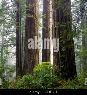 CALIFORNIA - Giant redwood trees along the Damnation Creek Trail in Redwood National Park. - Stock Photo
