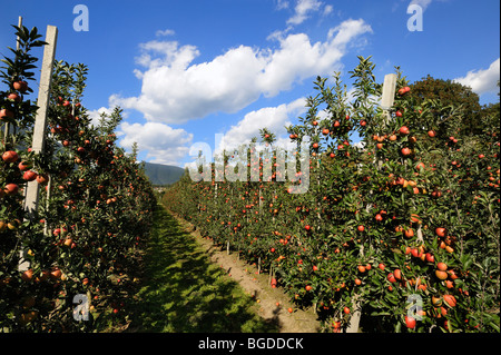 Apple growing in Bressanone, Trentino, South Tyrol, Italy, Europe - Stock Photo