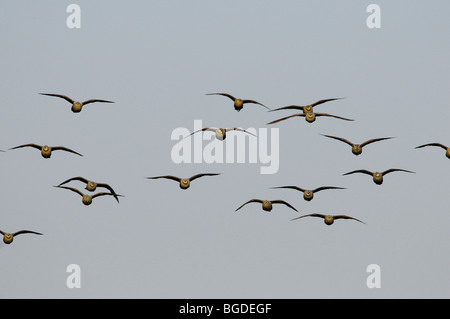 Yellow-throated sand grouse Pterocles gutturalis in flight, Katavi National Park, Tanzania - Stock Photo