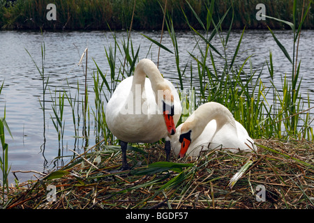 Pair of nesting and brooding Mute Swans (Cygnus olor) - Stock Photo