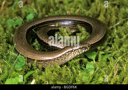 Slow worm or blindworm (Anguis fragilis) sunbathing - Stock Photo