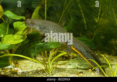 Great Crested Newt, Northern Crested Newt or Warty Newt (Triturus cristatus), female - Stock Photo