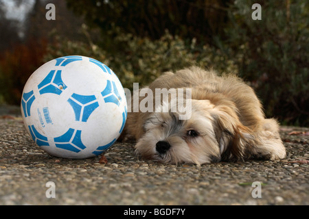 Havanese puppy, male, 16 weeks, with a football - Stock Photo
