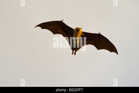 Seychelles fruit bat (Pteropodidae seychellensis), island of Mahe, Seychelles, Africa, Indian Ocean - Stock Photo