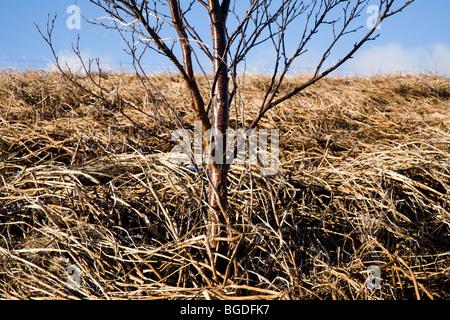 Birch tree (Betula) during winter. Southwest Iceland. - Stock Photo