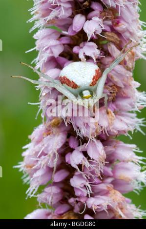 Goldenrod Crab Spider (Misumena vatia), Filz, Woergl, North Tyrol, Austria, Europe - Stock Photo