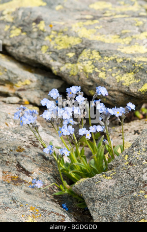 Water Forget-me-not or True Forget-me-not (Myosotis scorpioides), Gran Paradiso National Park, Valle d'Aosta, Italy, - Stock Photo