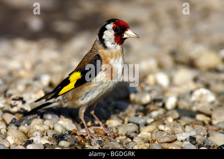 Goldfinch or European Goldfinch (Carduelis carduelis) standing on rocky ground - Stock Photo