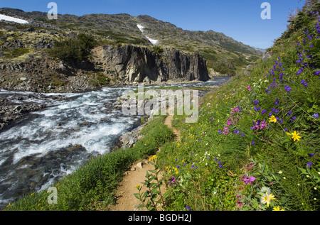 Blooming alpine flowers, historic Chilkoot Pass, Chilkoot Trail, creek behind, alpine tundra, Yukon Territory, British - Stock Photo