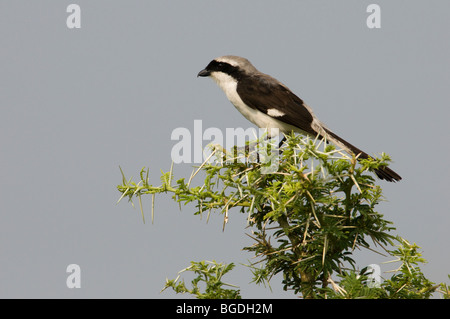 Lesser grey shrike Lanius minor in acacia tree, Katavi National Park, Tanzania - Stock Photo