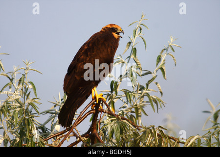 Marsh Harrier (Circus aeruginosus), young bird calling while perched on a branch, Lake Neusiedl, Burgenland, Austria, - Stock Photo