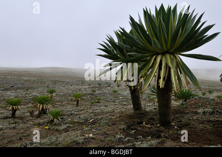 Giant Lobelia on the Sanetti Plateau, Bale Mountains National Park, Oromo, Ethiopia, Africa - Stock Photo