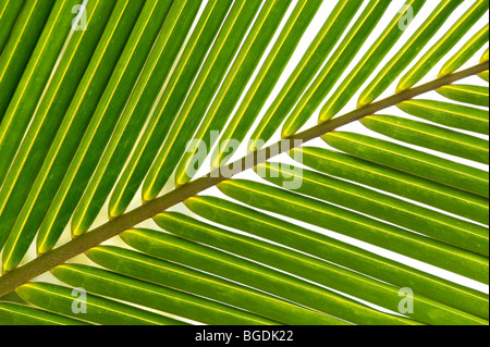 Coconut palm tree leaf pattern. India - Stock Photo