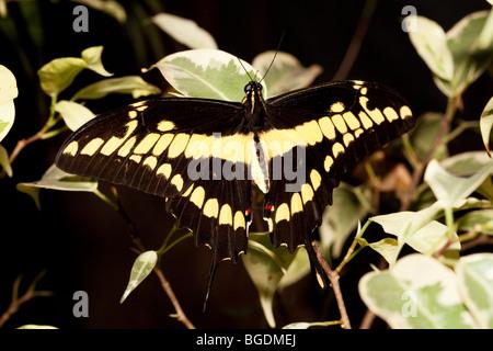 Giant Swallowtail Butterfly (Papilio cresphontes), Parc de la tête d'or (Golden Head Park), Lyon, France