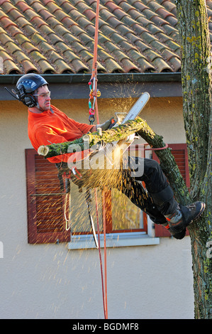 A tree surgeon working high in a garden tree with a house in the background - Stock Photo