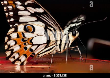 Common Lime Butterfly  (Papilio demoleus), Parc de la tête d'or (Golden Head Park), Lyon, France - Stock Photo