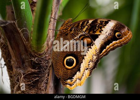 Yellow-Edged Giant-Owl (Caligo atreus) butterfly, Parc de la tête d'or (Golden Head Park), Lyon, France - Stock Photo