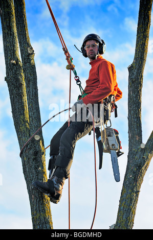 A tree surgeon working high in a tree - Stock Photo