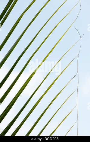 Coconut palm tree leaf pattern against blue sky. India - Stock Photo