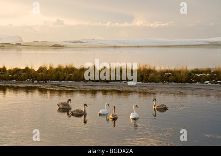 Mute Swans on partially frozen Loch of Stenness on Mainland Orkney Scotland  SCO 5705 - Stock Photo