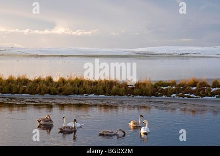 Mute Swans on partially frozen Loch of Stenness on Mainland Orkney  SCO 5706 - Stock Photo