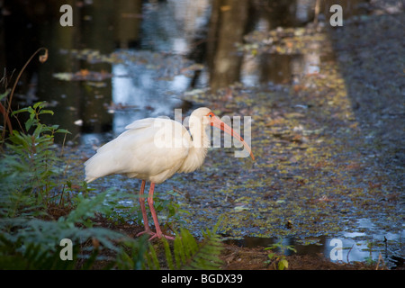 White Ibis in J N Ding Darling National Wildlife Preserve on Sanibel Island Florida - Stock Photo
