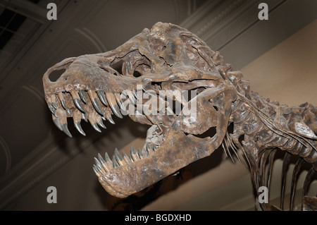 Tyrannosaurus rex skeleton from the late Cretaceous - Stock Photo