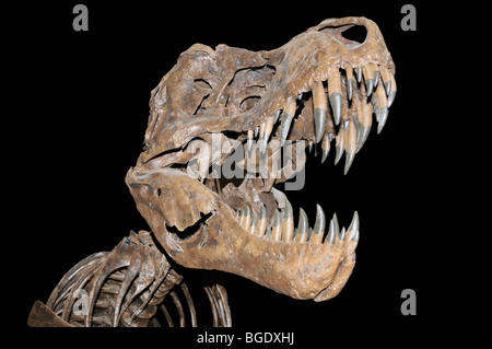 Tyrannosaurus rex skeleton (cast) from the late Cretaceous - Stock Photo