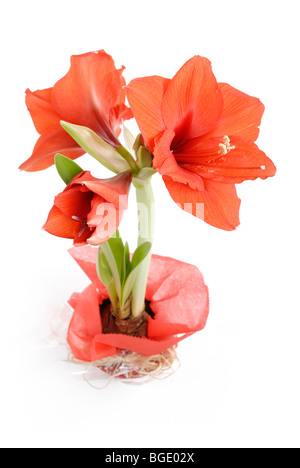 Knight's Star Amaryllis Hippeastrum in gift wrapping - Stock Photo