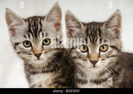 Stock photo of two kittens staring straight ahead at the camera. - Stock Photo