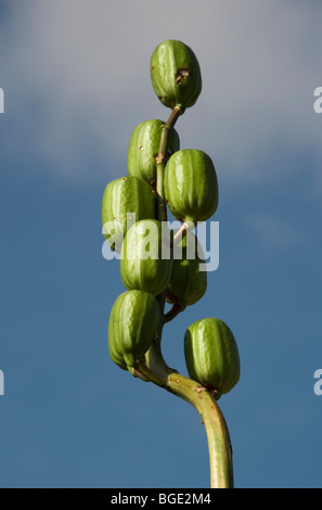 Cardiocrinum giganteum, Giant Himalayan Lily - Stock Photo