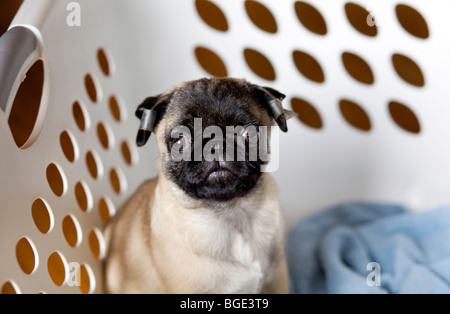 A male pug puppy sitting in a basket. - Stock Photo