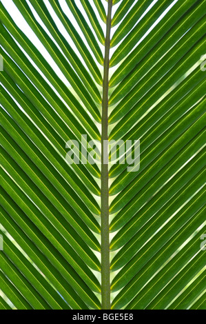Cocos nucifera. Coconut palm tree leaf pattern. India - Stock Photo