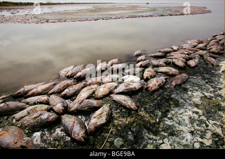 Dead fish in the Salton Sea, killed by low oxygen levels due to pollution in the New River Stock Photo