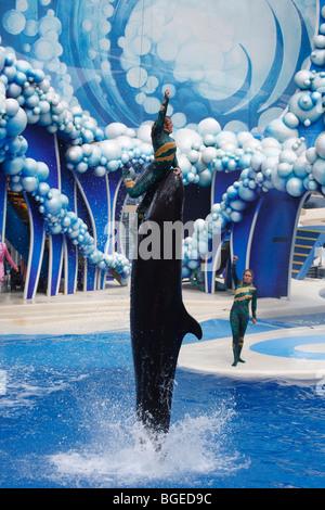 A man balances on a false killer whale at Seaworld in Orlando, Florida - Stock Photo
