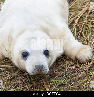 A young grey seal pup lying on the grass looks towards the viewer, Donna Nook, Lincolnshire England UK - Stock Photo