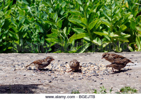 four female house sparrows passer domesticus feeding on birdseed on a concrete path - Stock Photo