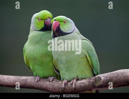 Two Ring Necked Parakeets (psittacula krameri) bonding - Stock Photo
