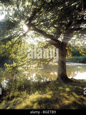 THE SUN'S RAYS SHINING THROUGH AN OAK TREE AT CANNOP PONDS THE FOREST OF DEAN GLOS UK - Stock Photo