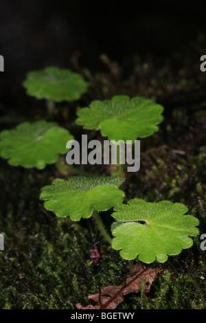 Leaf details on the cloudforest floor in La Amistad national park, Chiriqui province, Republic of Panama.