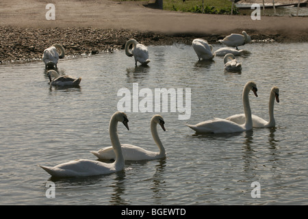 Mute Swans (Cygnus olor). Two Pairs of  bonded birds, showing ritualised courtship behaviour. Other swans bathing - Stock Photo