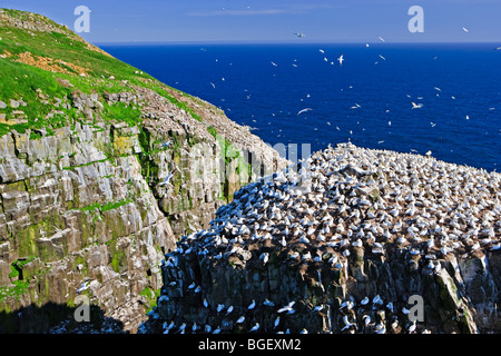 Northern Gannets, Morus bassanus, nesting on Bird Rock at the Cape St Mary's Ecological Reserve, Cape St Mary's, - Stock Photo