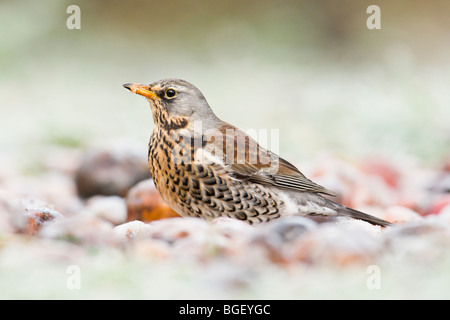 Fieldfare feeding on frost covered cider apples - Stock Photo
